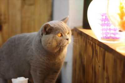 Mèo aln trên 6.5 tháng chuẩn bị gào.