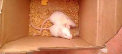 Chuột bạch dễ thương cần tìm chủ mới