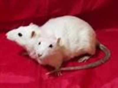 Cần bán chuột bạch giá tốt nhất