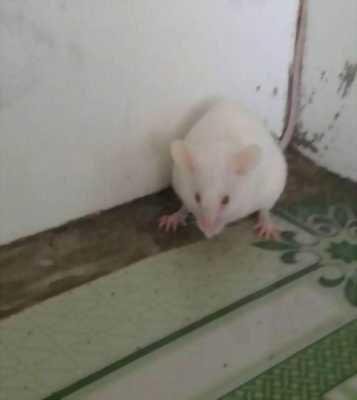 Cần bán gấp 1 chú chuột bạch giá rẻ