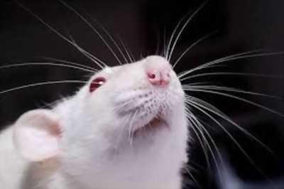 Chuột Bạch trên toàn quốc