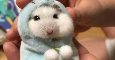 Hamster số lượng lớn nhỏ