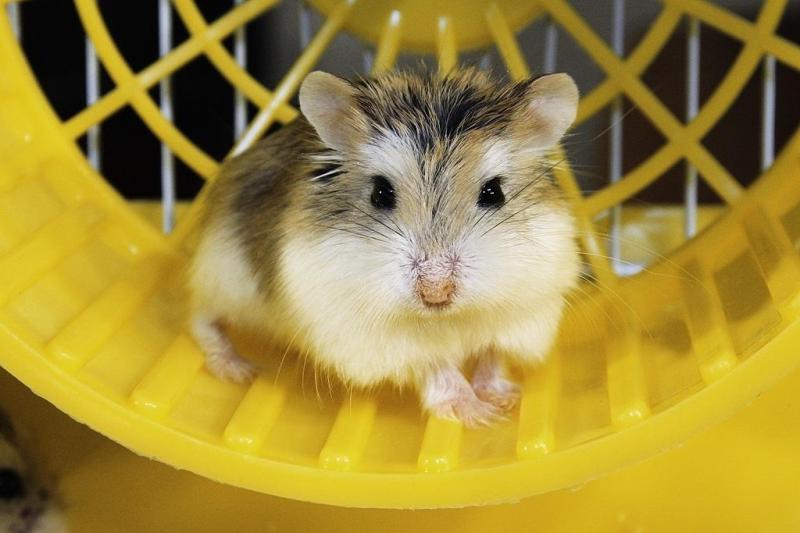 Chuột hamster giá bao nhiêu ?