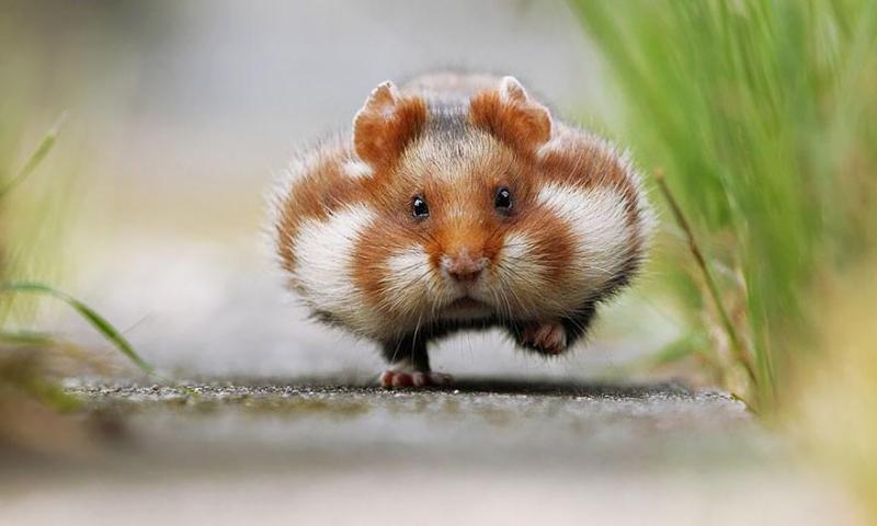 Cách làm đồ chơi cho chuột Hamster cực kì đơn giản.