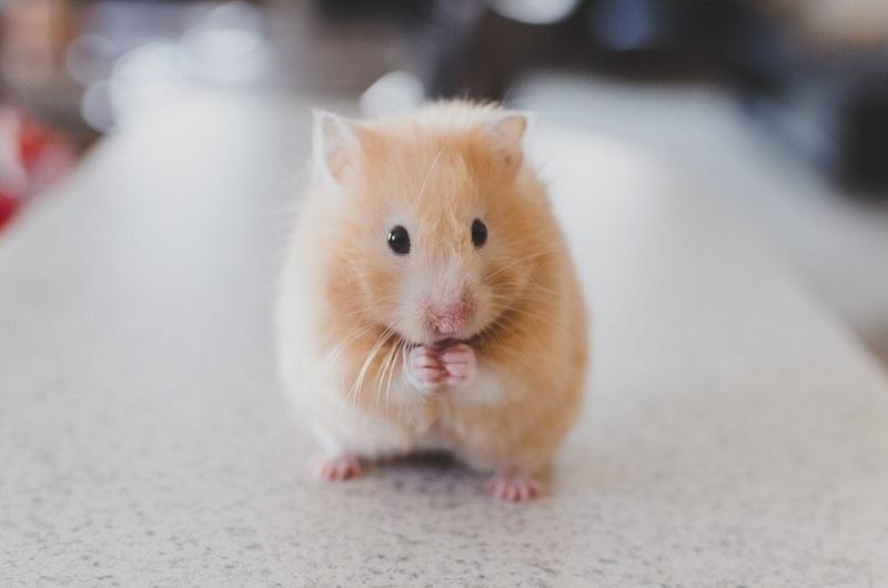 Nơi bán chuột Hamster ở TP Hồ Chí Minh