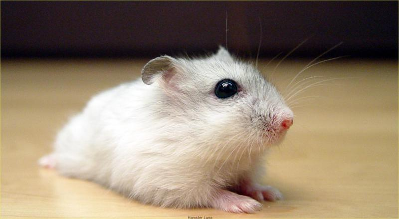 Chuột hamster thích ăn gì nhất?