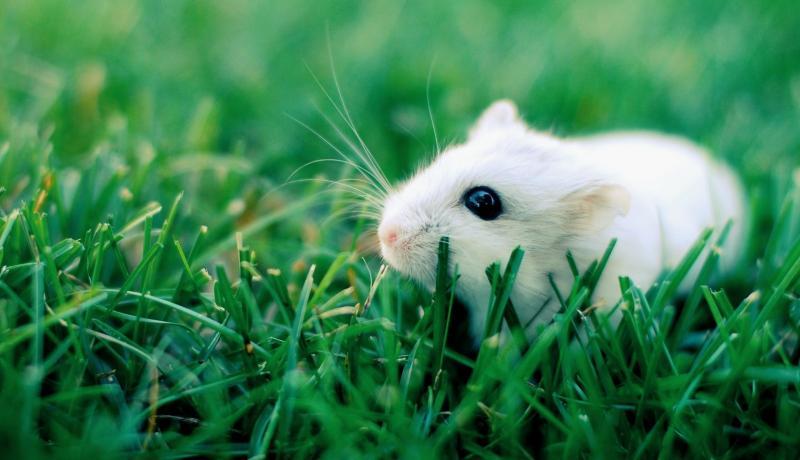 Một số bệnh thường gặp ở chuột Hamster
