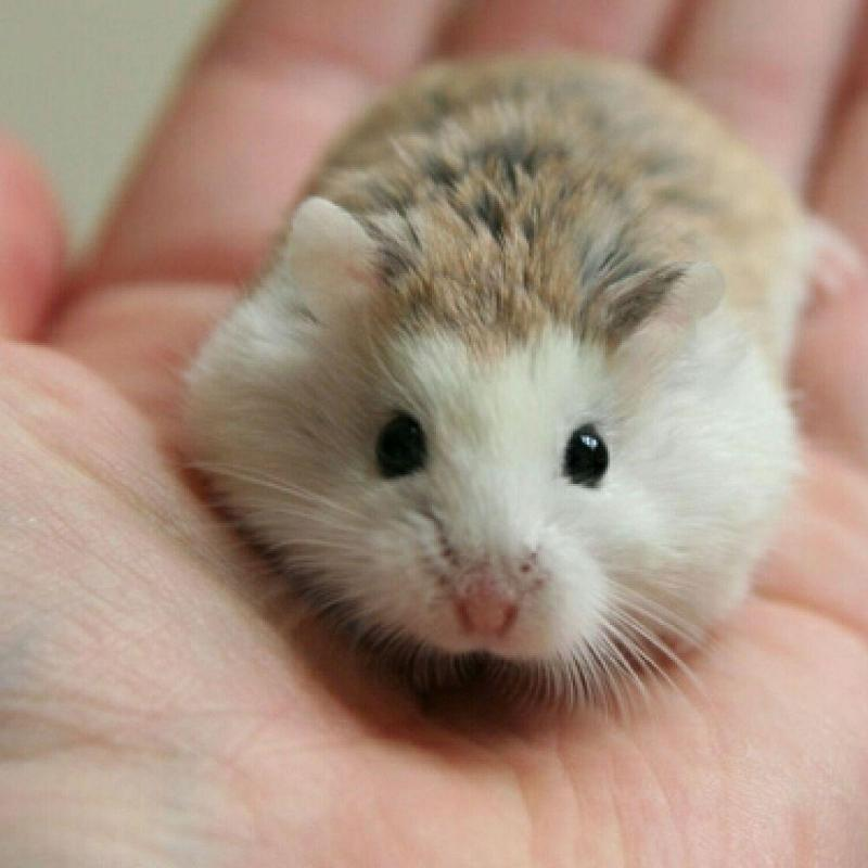 Cách chăm sóc khi chuột Hamster mang thai