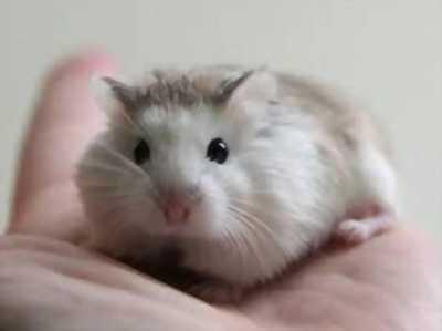 Bán Chuột Hamster rẻ nhất vịnh bắc bộ luôn