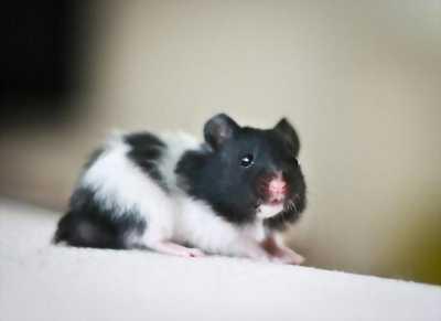 Bán chuột hamster càng long trà vinh