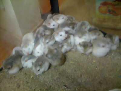 Bán hamster số lượng