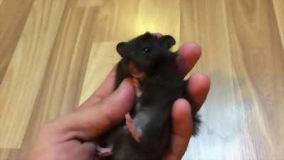Cần bán 1 bé hamster màu đen saphia