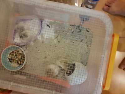 Chuột hamster Robo, đuôi mập, winterwhite