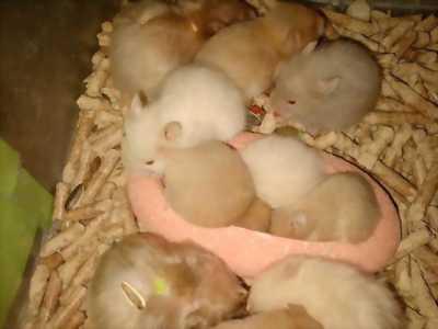 Hamster bear chỉ ''40  nghìn đồng'' giá sốc