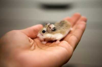 Cần bán chuột hamster
