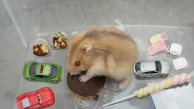 Chuột hamster và đồ cho chuột hamster