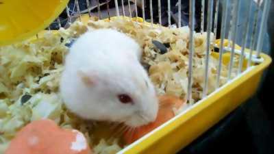 Hamster Ww ❤️