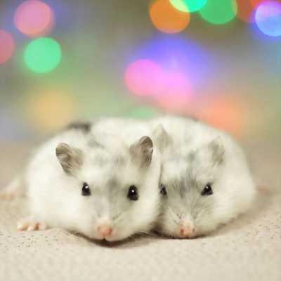 Hamster baby màu đẹp