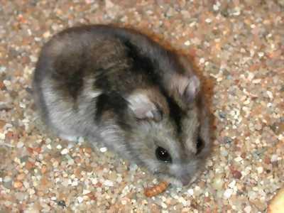 Chuột hamster em mới nuôi được 1 tháng