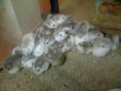 Hamster robo isabel giá rẻ