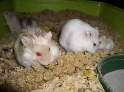Nhượng lại 2 em hamster cho những ai ở sài gòn nha