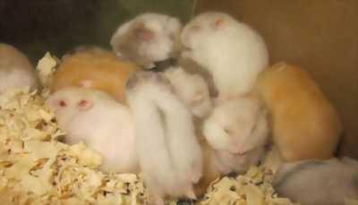 Thanh lý Hamster giá hạt dẻ