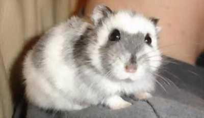Cần bán lại 5 em Hamster xám khói