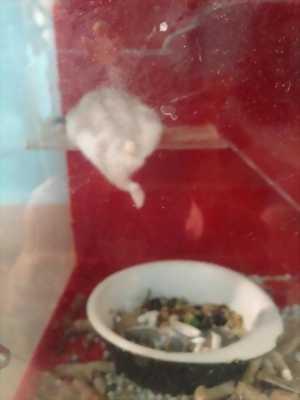 Bán hamster winter white 1 tháng tuổi