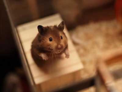 Hamster xám