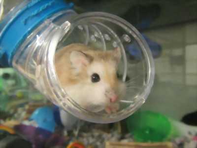 Hamster bear, chuồng full