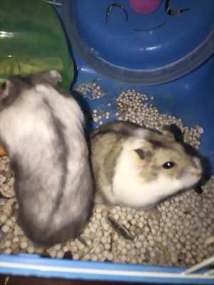 Thanh lý hai bé hamster và lồng