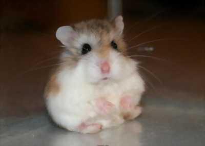 Hamster Khu Vực Yên Định Hoặc TP Thanh Hóa 80k>150