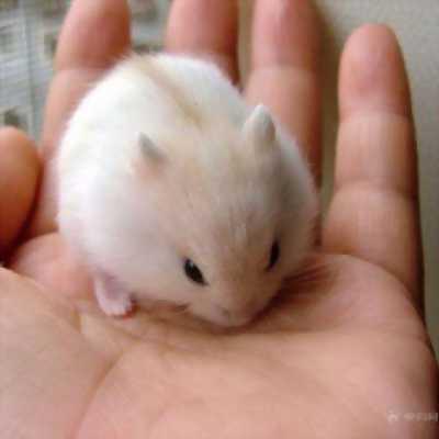 Bán Hamster Giá Rẻ Khu Vực Yên Định,Thành Phố