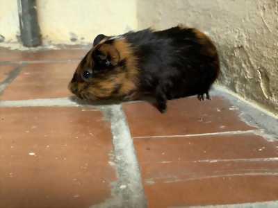 Chuột Lang Ham Ăn & Dễ Thương Siêu Cấp Vô Địch Happy Guinea Pig