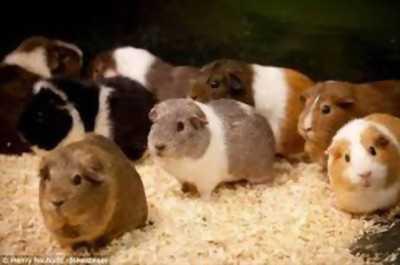 Pet xinh chuyên bán nhím kiểng, bọ ú lông xù, hamster