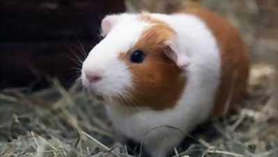 Bán nhím kiểng & guinea pig ( bọ ú lông xù ) giá rẻ
