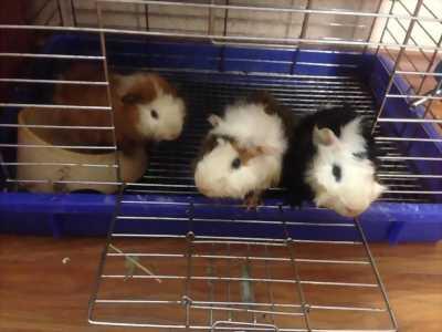 Bán gia đình chuột lang 3 thành viên