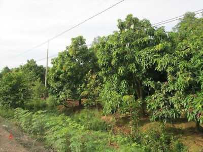 Đất vườn sầu riêng mặt tiền Tỉnh Lộ 864, gần chợ Hội Xuân