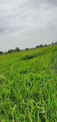 Bán đất lúa giá tốt gần chợ Rạch Kiến, xã Phước Vân, huyện Cần Đước, Long An