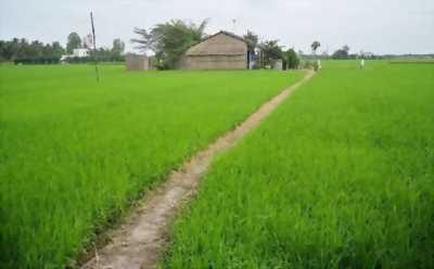Bán đất ruộng cây dương - Châu Thành