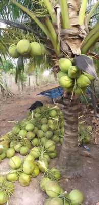 Bán đất 15.500m2 SHR ,có 1200 gốc Dừa đang thu hoạch 400tr/năm