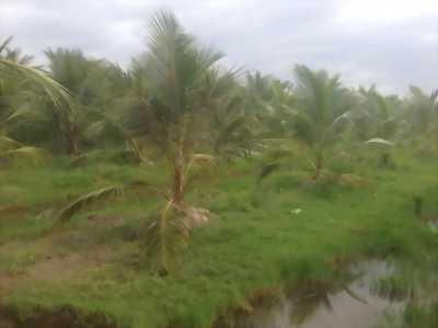 Bán gấp đất vườn dừa tại ấp 1 xã Bình Thành, Giồng Trôm, Bến Tre