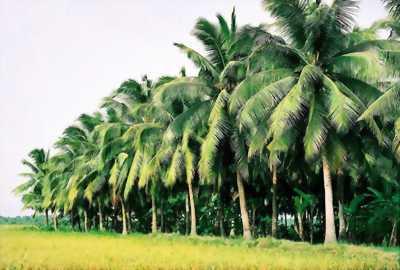 Cần mua đất ruộng lên bờ trồng dừa có đường đi