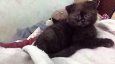Cần tìm nhà mới cho bé mèo Anh lông ngắn cực xinh