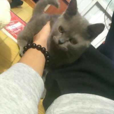Mình đang cần bán một bé mèo Anh lông ngắn dễ thương