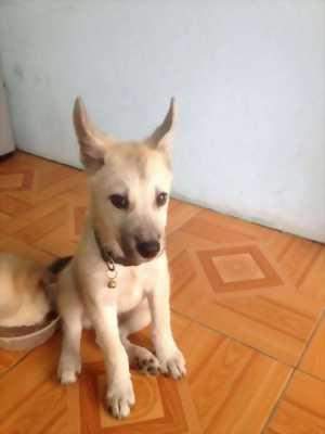 Bán chó Ta Lai Cái