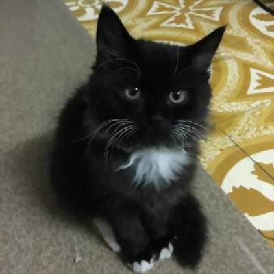 Cần bán em mèo đen như hình
