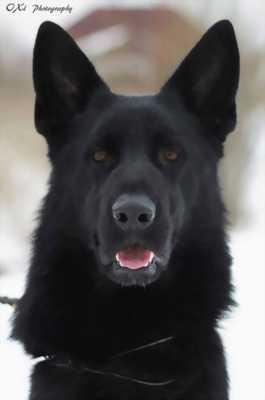 Phối giống chó becgie đen