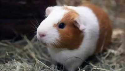 Hamster, bọ ú, vật dụng, thú cưng