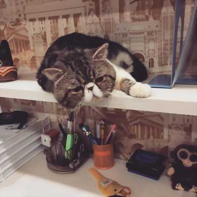 Nhận phối mèo exotic Nga có giấy CFA và ICFA